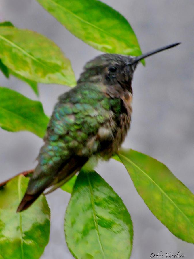 Artist Debra Vatalaro Photograph - Hummingbird Gem 4 by Debra     Vatalaro