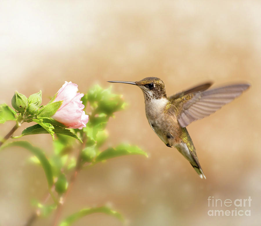 Iridescent Photograph - Hummingbird Hovering by Sari ONeal