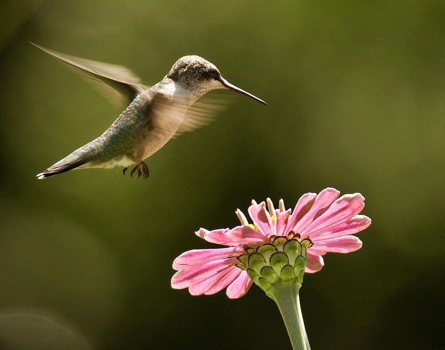 Horizontal Photograph - Hummingbird by Jody Trappe Photography