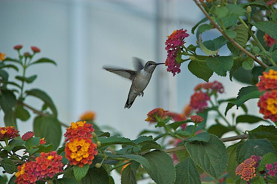 Birds Photograph - Hummingbird by Joseph Yarbrough