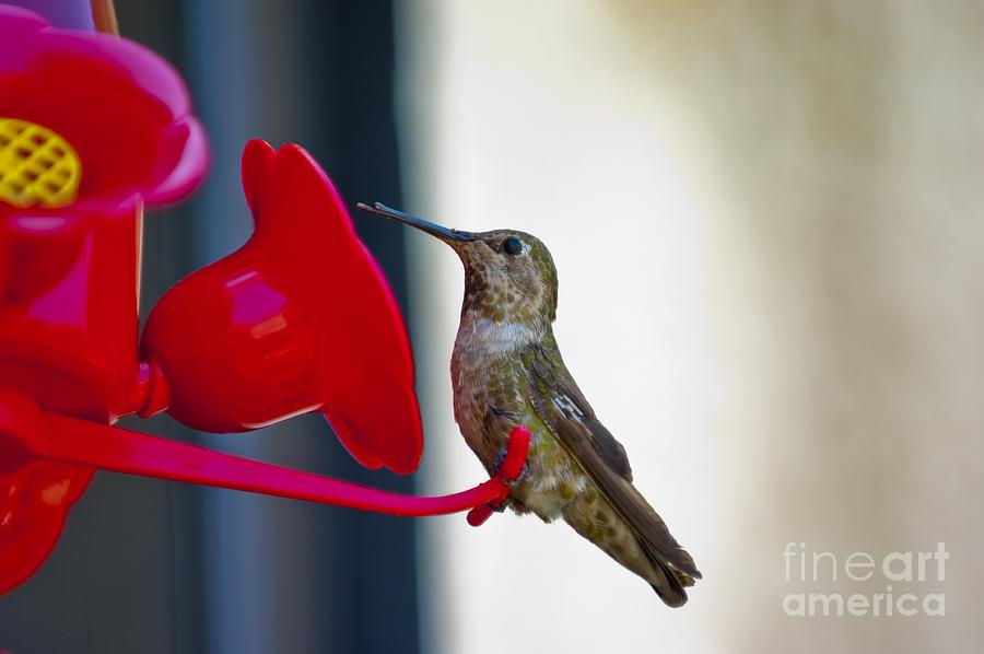Hummingbird Photograph - Hummingbird by Micah May