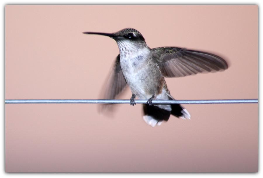 Horizontal Photograph - Hummingbird On A Wire by Wind Home Photography