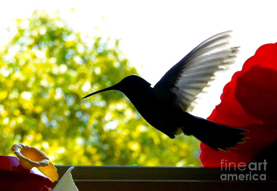 Canadian Photograph - Hummingbird Series 11 by Al Bourassa