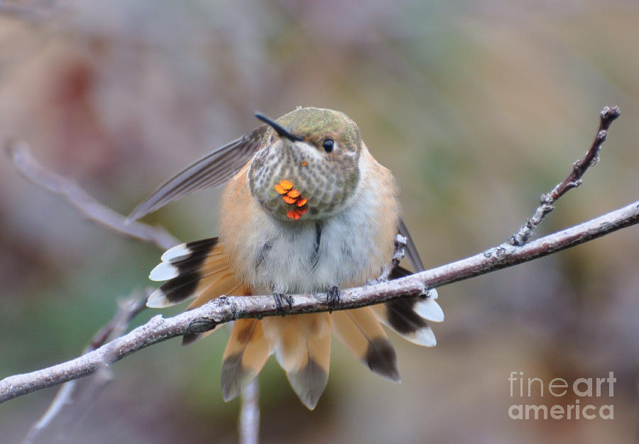 Birds Photograph - Hummingbird Stretch Two by Suzanne Handel
