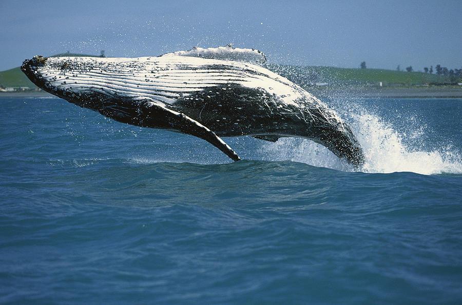 Humpback Whale Megaptera Novaeangliae Photograph by Barbara Todd