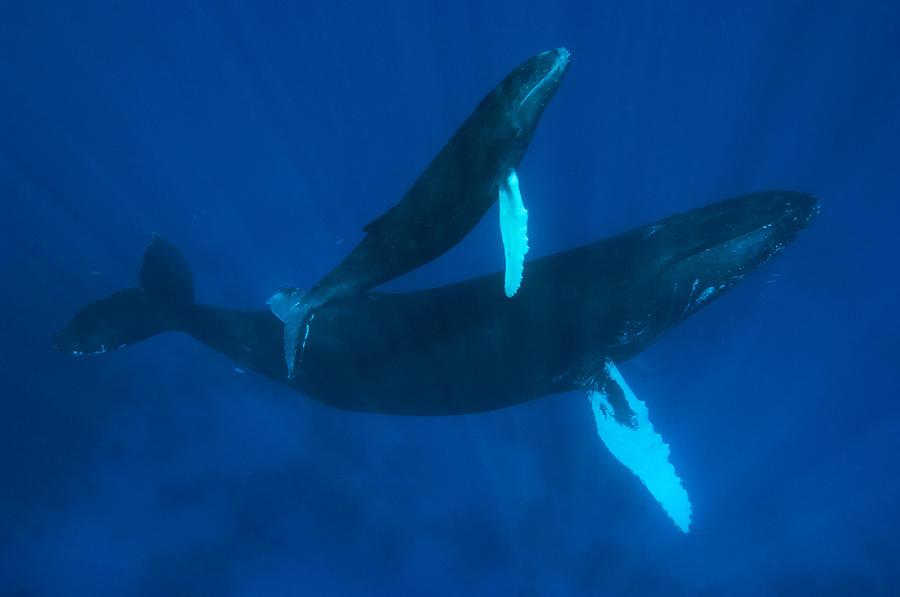 Color Image Photograph - Humpback Whale, Megaptera Novaeangliae by Mauricio Handler