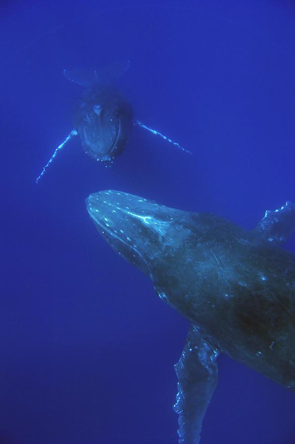 Humpback Whale Pair Maui Hawaii Photograph by Flip Nicklin