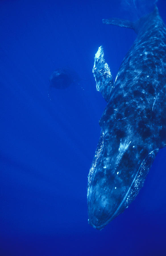 Animals Photograph - Humpback Whale Singer And Joiner Maui by Flip Nicklin