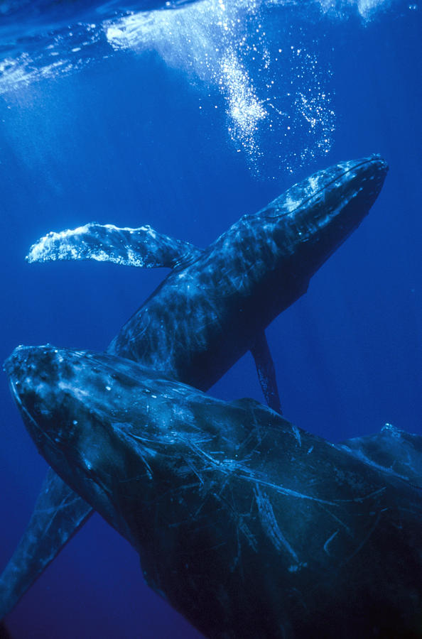 Humpback Whale Singer Blowing Bubbles Photograph by Flip Nicklin