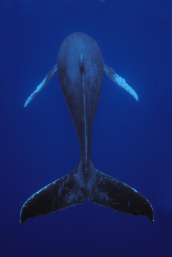 Humpback Whale Singing Kona Coast Hawaii Photograph by Flip Nicklin
