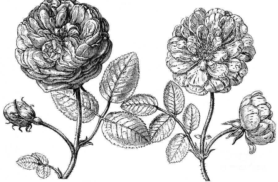 Biology Photograph - Hundred-leafed Rose by Granger