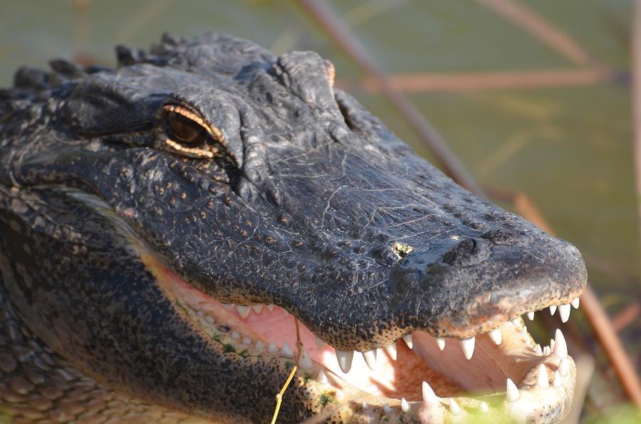 Alligator Photograph - Hungry Gator by Susan McNamara