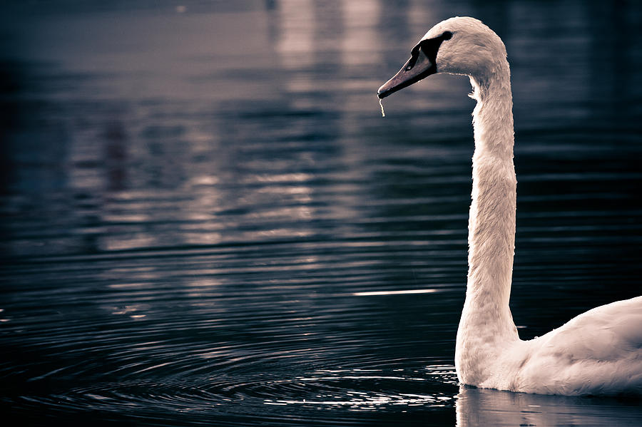 Swan Photograph - Hungry Swan by Justin Albrecht