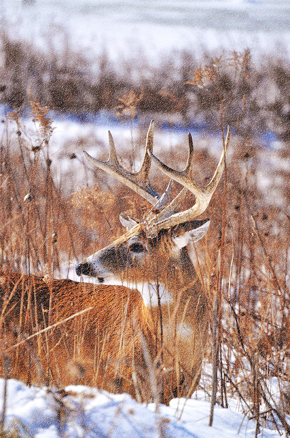 Buck Photograph - Hunkered Down by Emily Stauring
