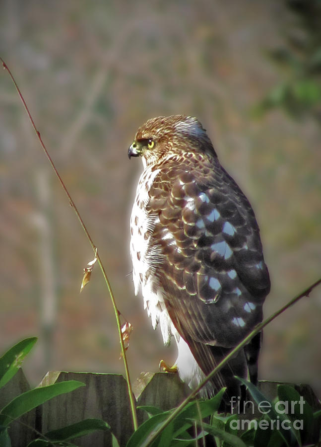 Red Tail Hawk Photograph - Hunter In A Farmers World by Laura Brightwood