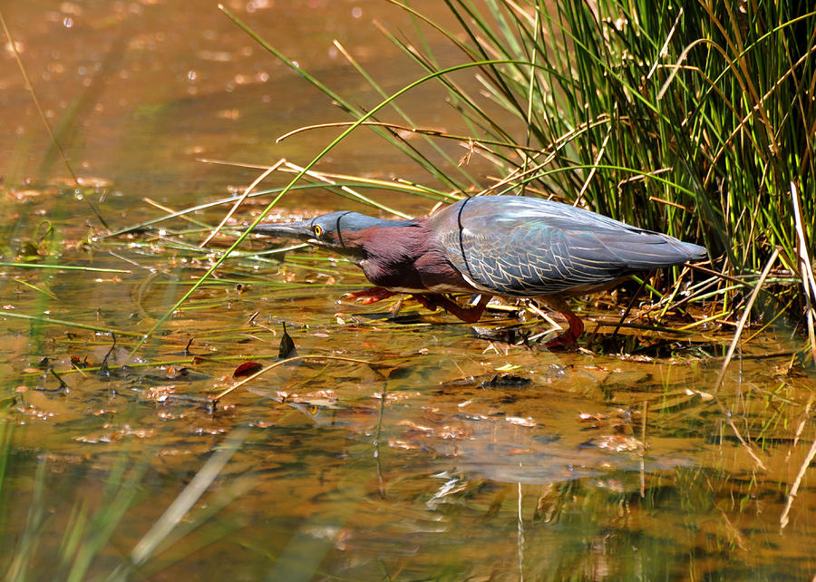 Green Heron Photograph - Hunting Green Heron - C9822b by Paul Lyndon Phillips