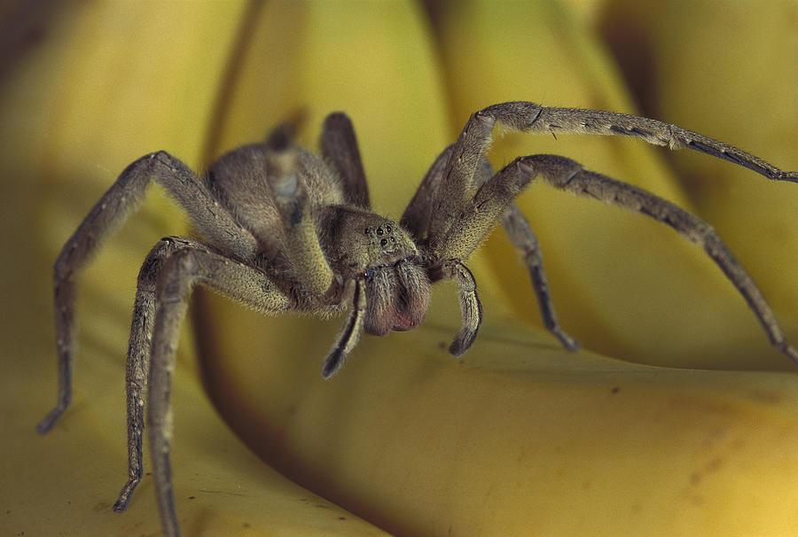 Mp Photograph - Hunting Spider Cupiennius Salei Walking by Heidi & Hans-Juergen Koch