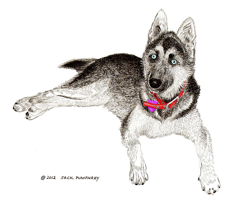 Framed Prints Of Blue Eyed Huskies Painting - Husky With Blue Eyes And Red Collar by Jack Pumphrey