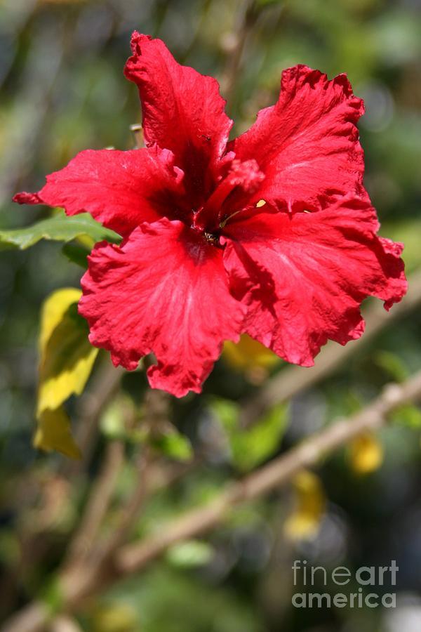 Red Photograph - Hyacinth by Phoenix Michael  Davis