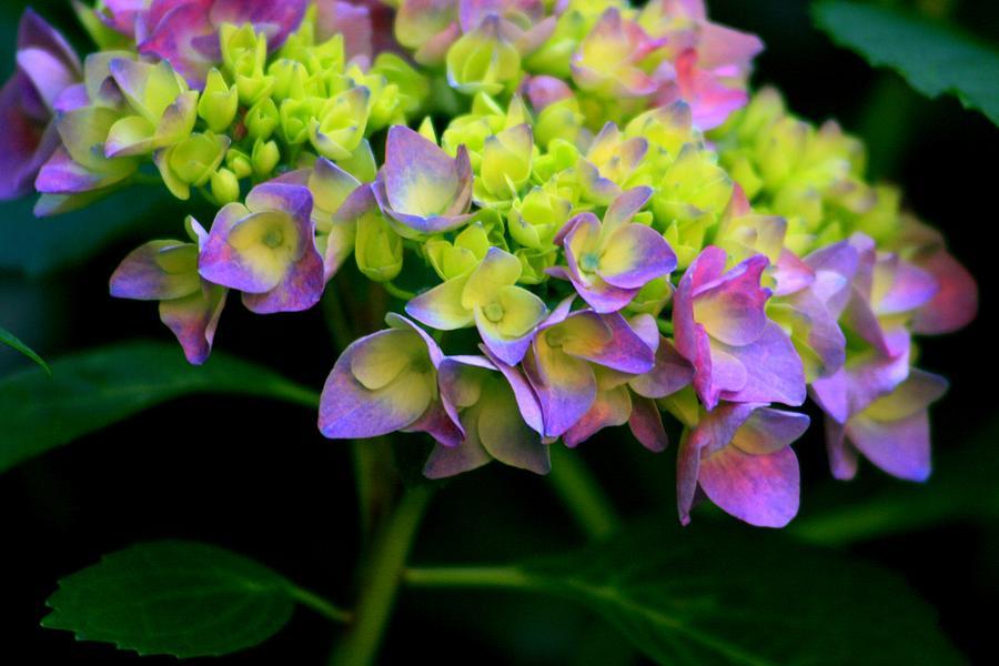 Flowers Photograph - Hydrangea Beauty by Valia Bradshaw