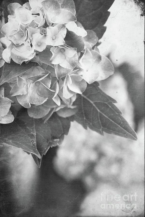 Hydrangea Photograph - Hydrangeas In Black And White by Stephanie Frey