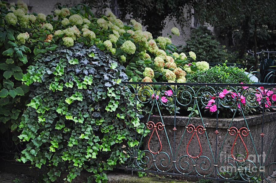 Hydrangeas Photograph - Hydrangeas Salzburg by Mary Machare