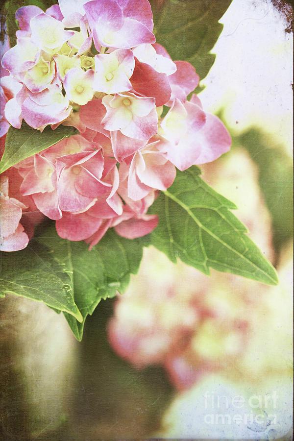 Hydrangea Photograph - Hydrangeas by Stephanie Frey