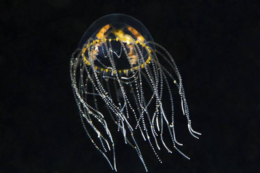 Animal Photograph - Hydrozoan Medusa by Alexander Semenov
