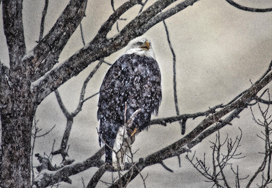 Eagle Photograph - I Am Cold by Gary Smith