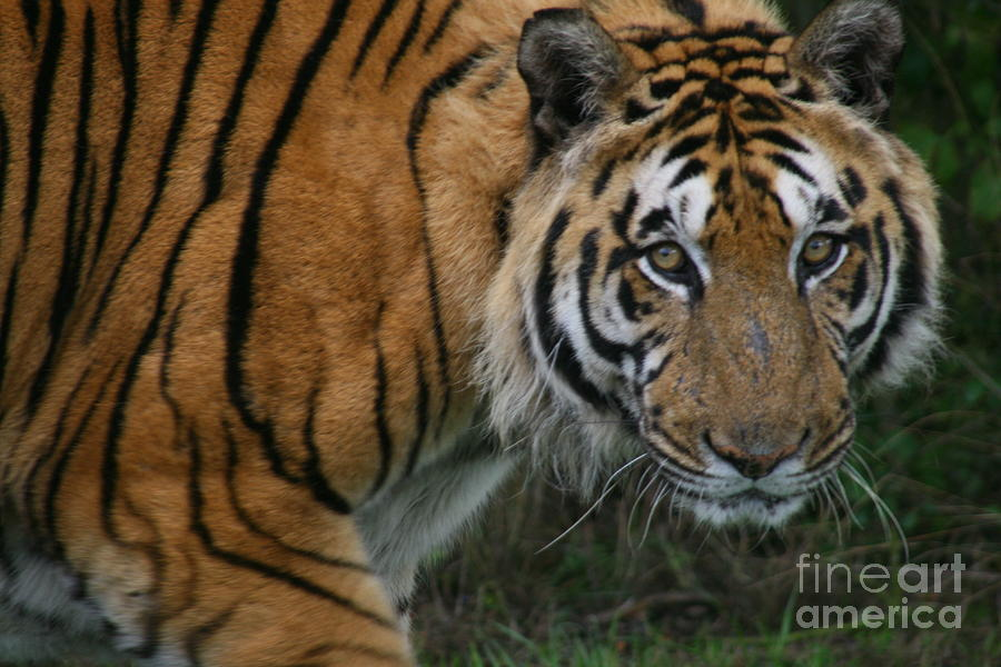 Tiger Photograph - I Am Watching You by Carol Wright