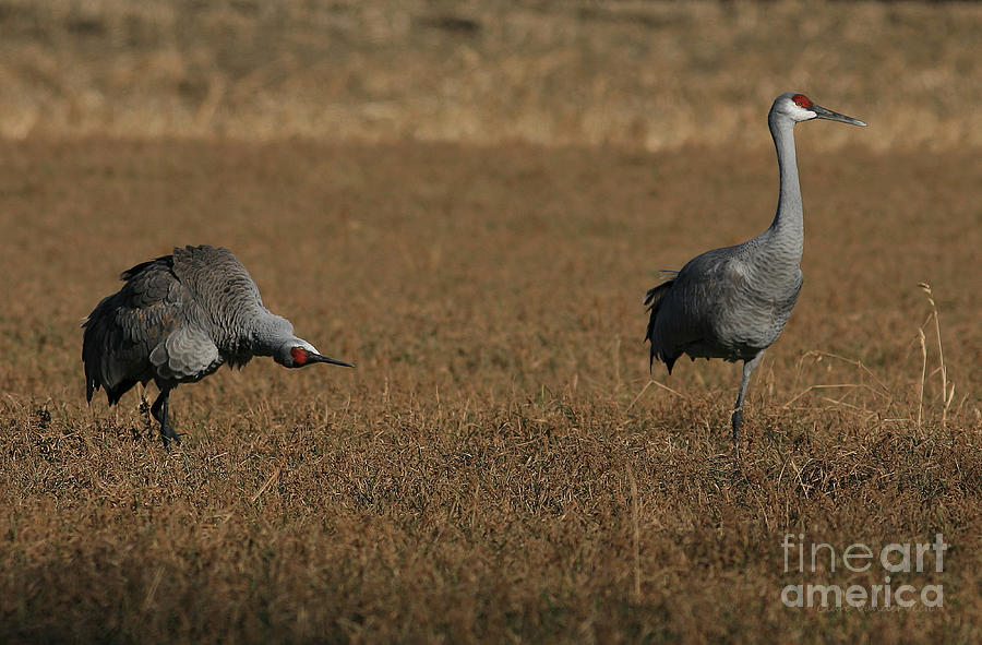 Sandhill Cranes Photograph - I Believe Youve Lost A Landing Gear by Clare VanderVeen