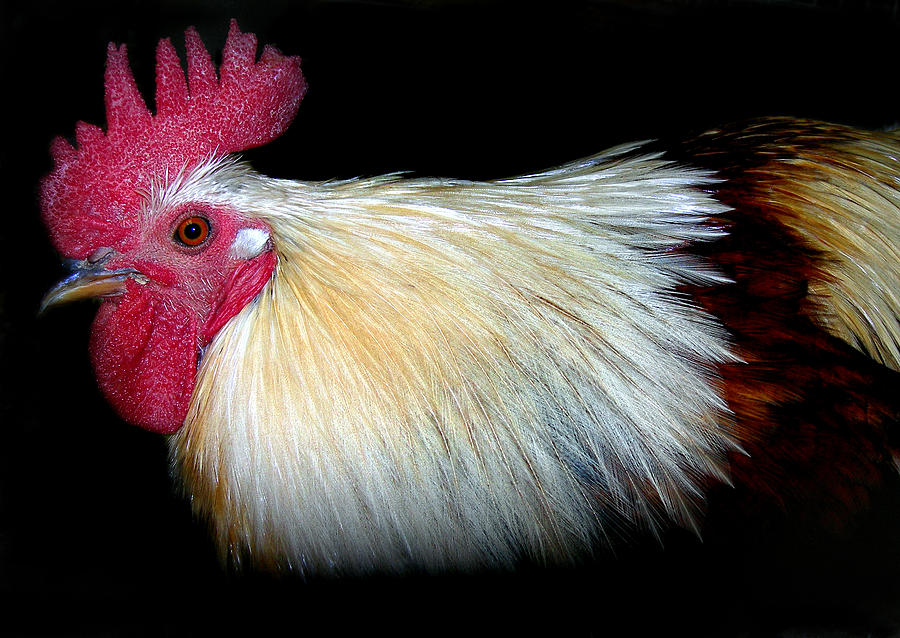 Chicken Photograph - I Came First by Skip Willits