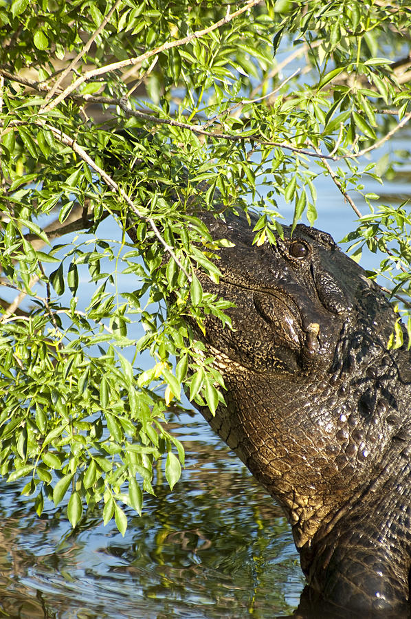Alligator Photograph - I Can See You by Carolyn Marshall