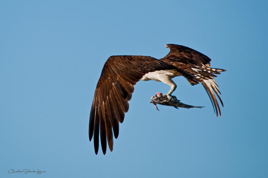 Osprey Photograph - I Picked Up Take-Out by Christine Stonebridge
