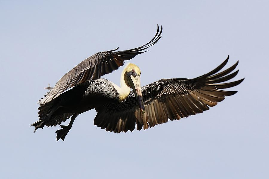 Pelican Photograph - I Put A Spell On You by Paulette Thomas