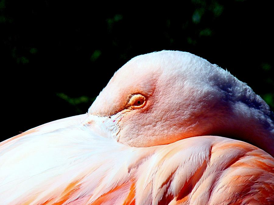 Flamingo Photograph - I See You by Nick Kloepping