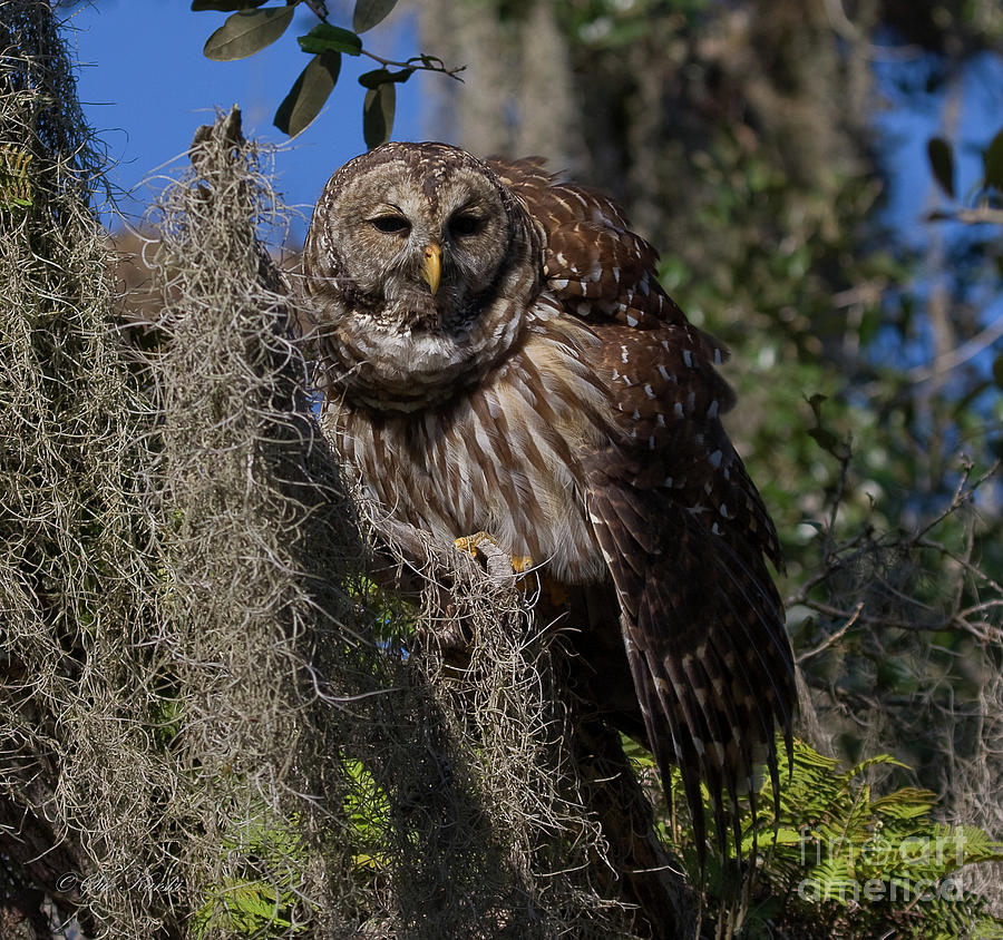 Barred Owl Photograph - I See You by Sue Karski