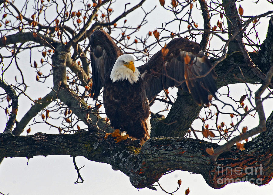 Eagle Photograph - I Swear It Was This Big by Michael Rucci