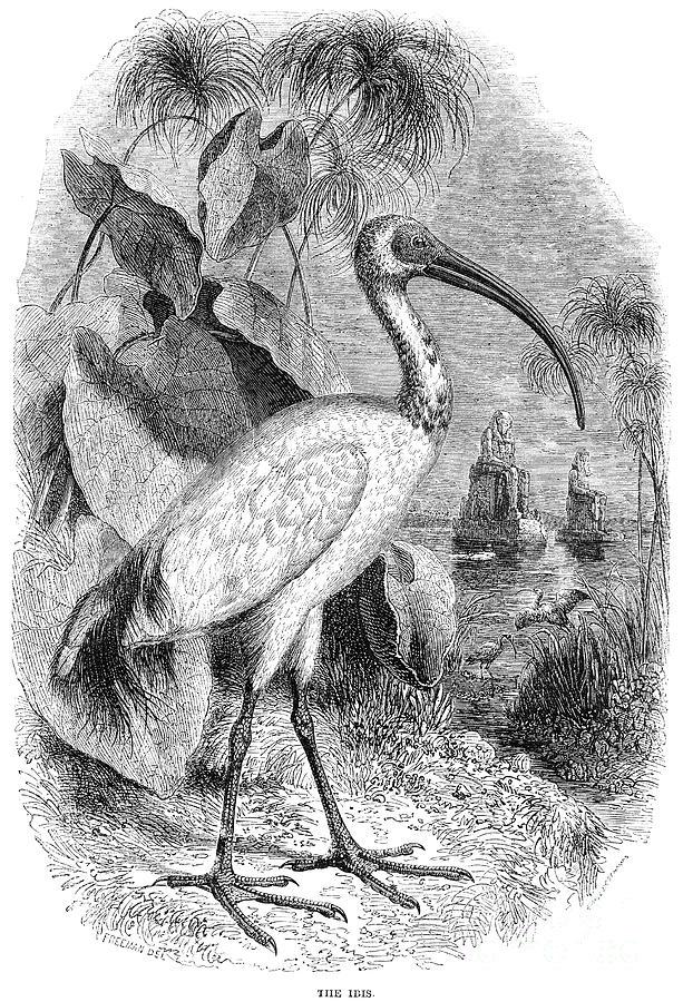 Biology Photograph - Ibis by Granger