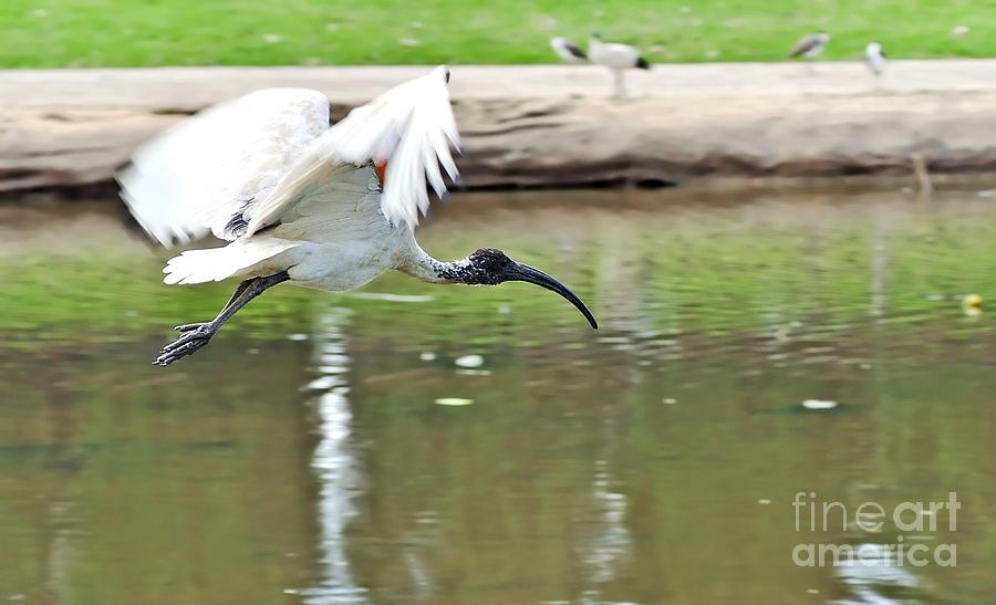Ibis Photograph - Ibis In Flight by Kaye Menner