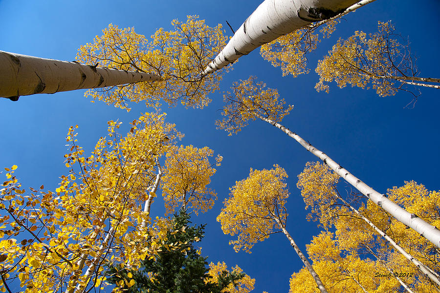 Aspen Trees Photograph - Iconic Aspen Photo by Stephen  Johnson