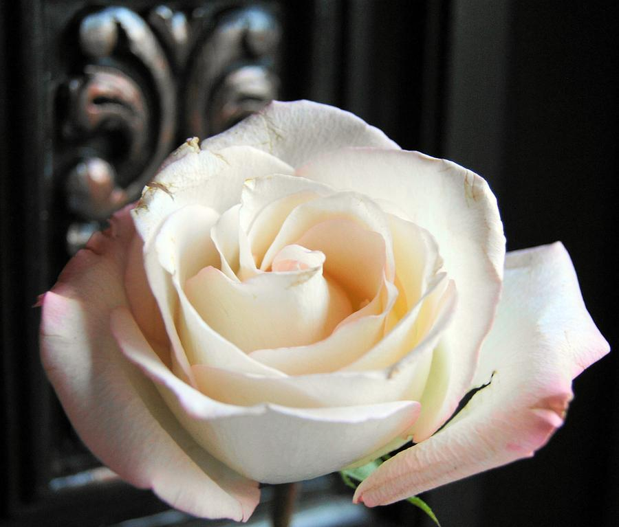 Rose Photograph - If Love Was A Rose by Kathy Bucari