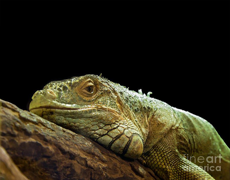 Animal Photograph - Iguana by Jane Rix