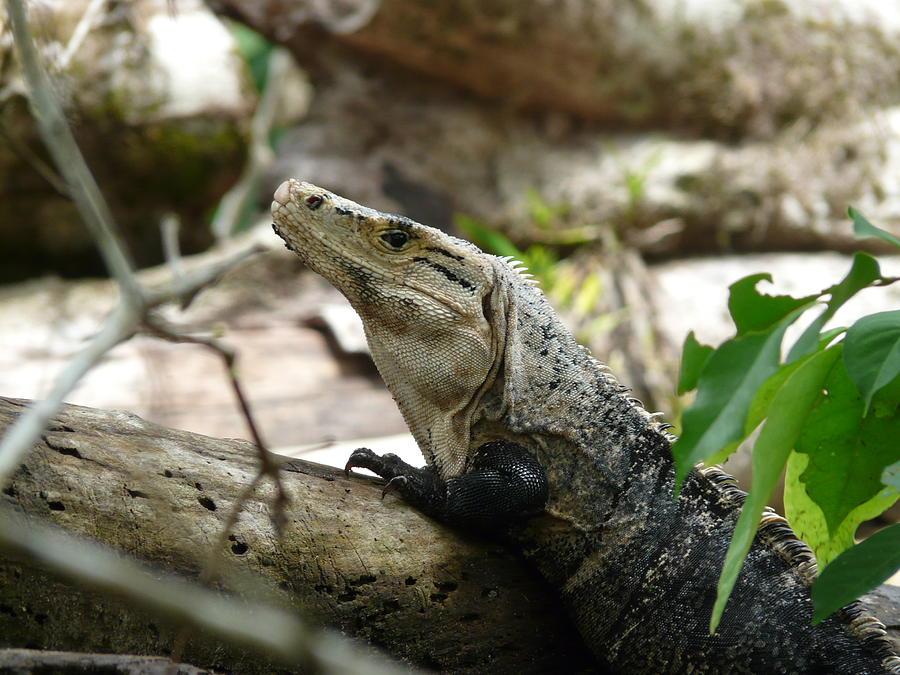 Reptile Photograph - Iguana by Juan Francisco Zeledon
