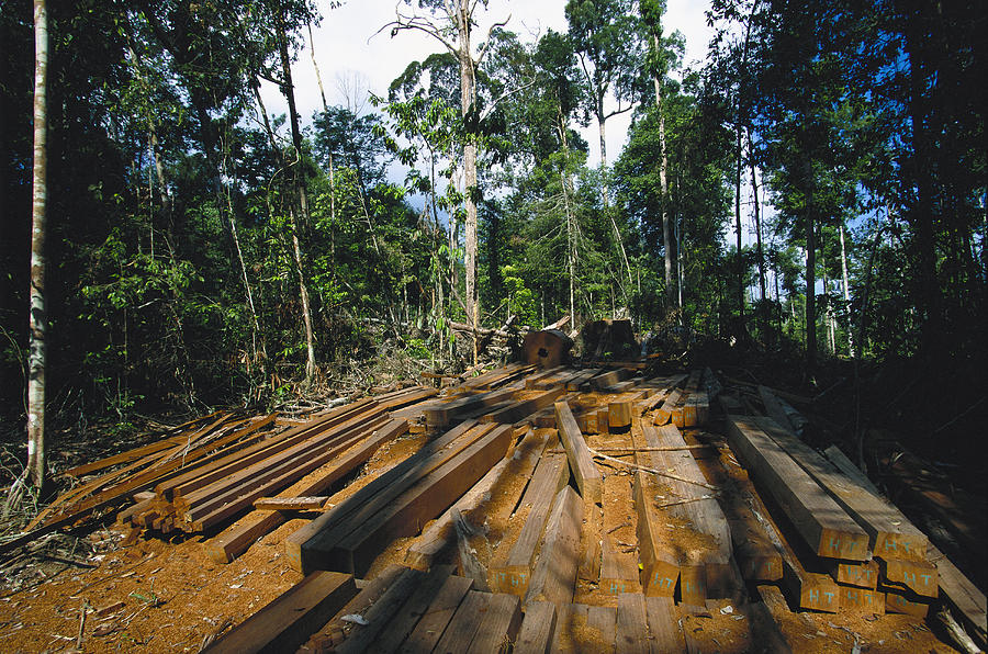 Asia Photograph - Illegal Logging Site, Felled Trees by Tim Laman