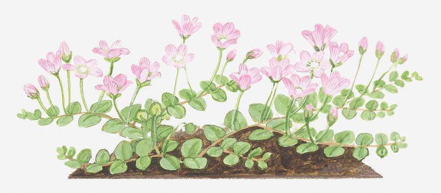 Illustration Of Anagallis Tenella (bog Pimpernel), Leaves And Pink Flowers Digital Art by Dorling Kindersley