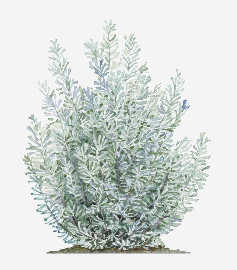 Illustration Of Artemisia Tridentata Sagebrush Shrub