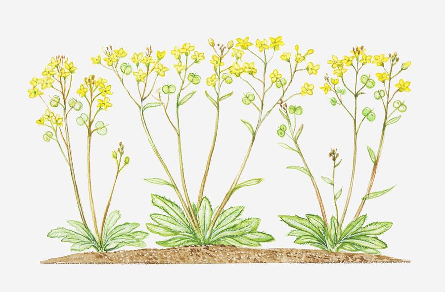 Illustration of biscutella laevigata buckler mustard yellow horizontal digital art illustration of biscutella laevigata buckler mustard yellow flowers by mightylinksfo