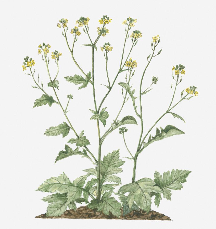 Illustration Of Brassica Nigra Black Mustard Bearing