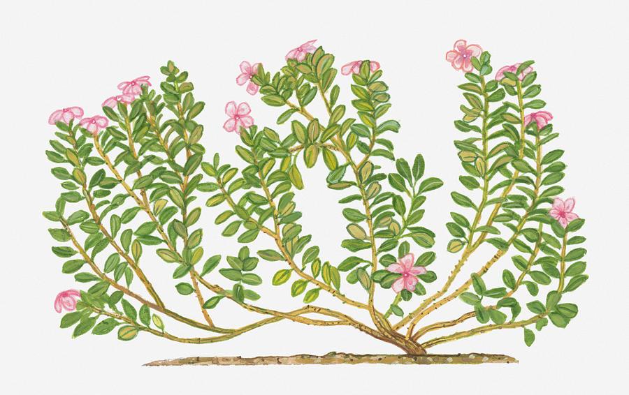 Illustration of catharanthus roseus madagascar periwinkle bearing horizontal digital art illustration of catharanthus roseus madagascar periwinkle bearing pink flowers on mightylinksfo